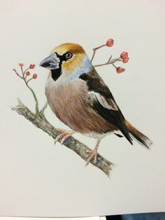 Hawfinch - Lucy Willder
