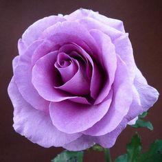 Rose| http://roseflowergardens.13faqs.com