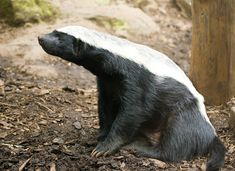 Honey Badgers... meaner than they look.