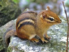 Chipmunk~love watching them! They are so cute!