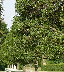 Laurel Tree info
