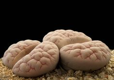 Lithops gracilidelineata waldroniae (from Rowland seeds)