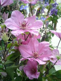 Clematis 'Summer Dream' has a very delicate sense about it, its pale pink petals with its slightly deeper pink stripe compliment each other very well. It flowers from June til September and can reach heights of 5-6ft. Group 3.