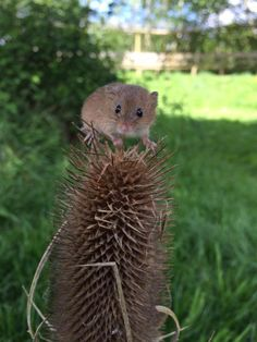 The new dvd will have visits to rivers and hedgerows to find the animals who live there!   A harvest mouse and even a fox was very curious about Tractor Ted's camera!