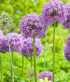 Alium: striking blooms...a showstopper in any garden