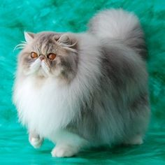exotic british short haired  cats | The Long-Haired version