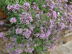 Oregano is used as ground cover around a carved well-head in Giacinta's garden. It's also grown in the kitchen garden along the side of her house. Since oregano is grown in England too, I use the English word in my story.