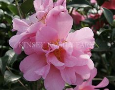 'Ballet in Pink' Camellia japonica. Orchid pink peony, spring. Kinsey Family Farm Gainesville, GA.