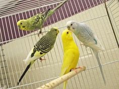 3 new Parakeets available for adoption. Come meet beautiful birds Bluey, Flouncy & Tristan and opt to adopt. Bluey A399269 Blue Male, Flouncy A399276 Green & Yellow Female, & Tristan A399274 Green & Yellow Male. (Breezy A399268 Yellow Female got adopted)