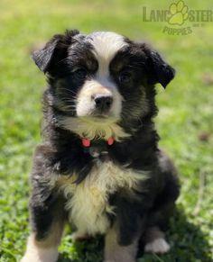 #AustralianShepherd #Charming #PinterestPuppies #PuppiesOfPinterest #Puppy #Puppies #Pups #Pup #Funloving #Sweet #PuppyLove #Cute #Cuddly #Adorable #ForTheLoveOfADog #MansBestFriend #Animals #Dog #Pet #Pets #ChildrenFriendly #PuppyandChildren #ChildandPuppy #LancasterPuppies www.LancasterPuppies.com Toy Aussie, Mini Aussie, Mini Australian Shepherds, Australian Shepherd Puppies, American Stock, Lancaster Puppies, Animals Dog, Working Dogs, Puppies For Sale