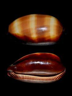 mole_cowry_shell.jpg (768×1024)