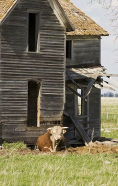 Old homestead of South Dakota. A Hereford bull guards entry to an abandoned farm house northwest of Mitchell.