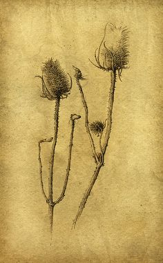 Ink drawing of dry teasels by Yaroslav Gerzhedovich