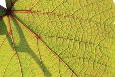 #allotment #love #grapevine #leaf #in #sunlight