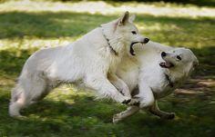 Vom Zauber weißer Schäferhunde