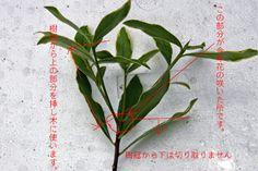 14件沈丁花おすすめの画像 Blog Entrycabbage Butterflywhite