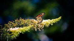 ⭐ Get this free picture Monarch Butterfly Danaid    👉 https://avopix.com/photo/13284-monarch-butterfly-danaid    #monarch #butterfly #danaid #insect #admiral #avopix #free #photos #public #domain