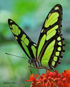 Amazing Green and Black Butterfly. by Christian-Marc Panneton on Green Butterfly, Butterfly Flowers, Beautiful Bugs, Beautiful Butterflies, Art Papillon, Flying Flowers, Butterfly Pictures, Butterfly Wallpaper, Butterfly Kisses