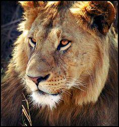 Leon-Serengueti