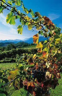 Vineyard of Vernaccia, Le Marche, Italy