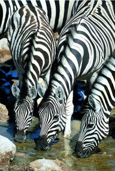 *Zebras at the watering hole