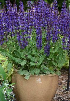 Salvia Plants: Growing & Caring for Ornamental Sages - Garden Design Veronica Plant, Salvia Plants, Sage Garden, Purple Plants, Lavender Flowers, Lavender Blue, Blue Flowers, Garden Pests, Gardens