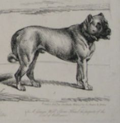 "1804 engraving labeled 'German Boarhound'.  German Boarhounds were used to make up the breed known today as the ""Great Dane."" However - back then dogs were often labeled as a breed by what they DID, not by their bloodlines. Hence some ""German Boarhounds"" were short, stocky dogs and some were leggy lean dogs."
