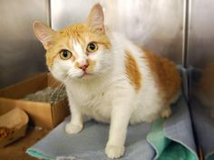 SAMANTHA – A1080525 | NYC AC&C Urgent Cats Another beautiful, healthy angel killed by NYCACC ! You know, the ones that claim to be low kill.