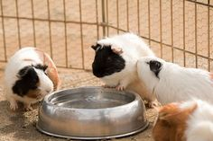 Guinea Pig 動物園のモルモット guineapig モルモット 動物園 zoo