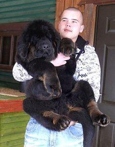 2.5 months old! (Tibetan Mastiff) LOVE.
