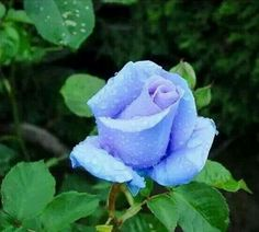 Blue Rose From B.C.