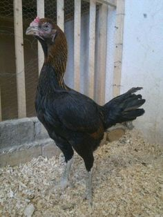 Pacha kaki petta original breed rare to find.