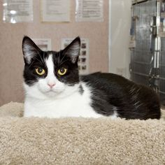 Izzy B. is an adoptable Domestic Short Hair-Black And White Cat in Nashville, TN.  I am one of the most affectionate cats I know. I love to get attention from the people who come to see me here at the...