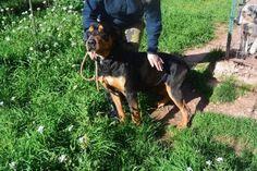 Vick, #Rottweiler, 9 Jahre, verträglich, schon 5 Jahre im Tierheim in Frankreich!!