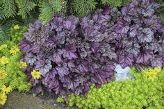 2.Heuchera blackberry ice (Purple Coralbells) landscape Top 10 Flowers That Bloom all Year