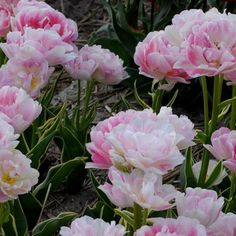 """Double Late Tulip 'Annelinde'. Tulipa. 18-24"""" tall. Blooms in May. A variegated form of 'Angelique'."""