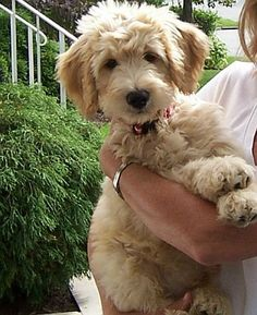 schnoodle grooming dunwoody - Google Search
