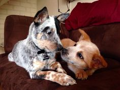 My Australian Cattle Dog puppies nose kissing