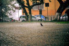 Galamb keresi a párját, melyet elvesztett a viharban.