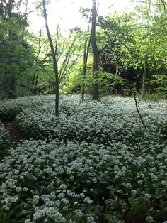 Summer snow - wild garlic at Lotherton Hall