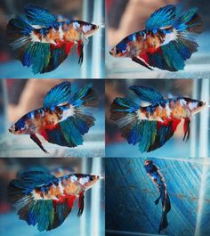 star koi hm female 00183 #tropicalfishaquariumideas
