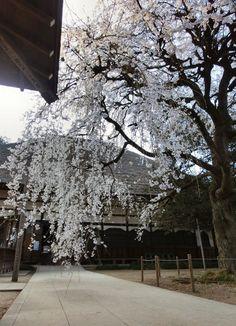 Morinji Temple Shidarezakura(Cerasus spachiana f. spachiana)茂林寺 しだれ桜