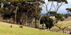 Øhop. Øen har fået sit navn på grund af de mellem 35.000 og 40.000 kænguruer, der bor her. Også koalabjørne, sæler og pindsvin holder til på øen. Fra toppen af stenformationen Admirals Arch (th.) kan man skue ud over en flok newzealandske sæler. Foto: Kasper Iversen