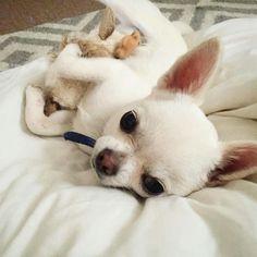 Cute <3 Teacup Chihuahua, Chihuahua Puppies, Cute Puppies, Dogs And Puppies, Pet Dogs, Dog Cat, Doggies, Baby Animals, Cute Animals