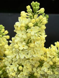Lilak pospolity 'Primarosa' - Syringa vulgaris 'Primrose'