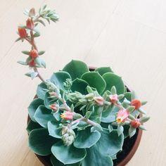 Um amor chamado Rosa de Pedra ❤️🍃 #decora #plantas #plantinhas #ape73 #plants #suculentas #rosadepedra