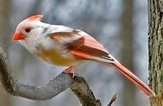 The NORTHERN CARDINAL is found throughout eastern and central North America from southern Canada into parts of Mexico and Central America. They are 8-9 inches beak to tail.  A leucistic cardinal has a gene that causes it to lack some or all pigmentation, like this one.