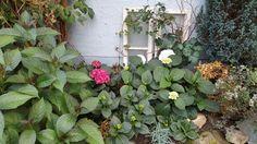 Alte Fenster und Hortensien