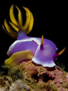Egg Laying Nudibranch