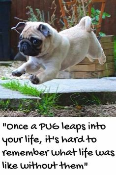 one small step for man... one giant leap for pug kind !!!!! :)
